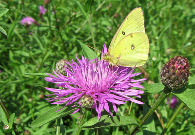 Butterfly and wildflower along the Tiaughnioga RIver