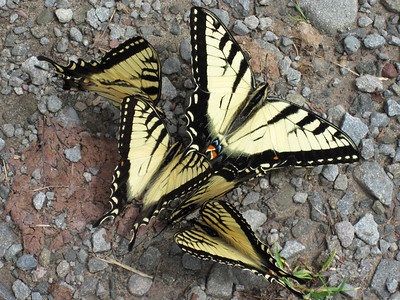 Tiger Swallowtail mineral-fest (Callicoon, NY boat launch; June 2011)