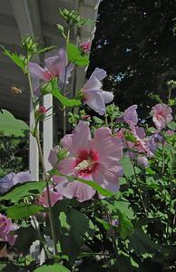 Rose of Sharon and Honeybee