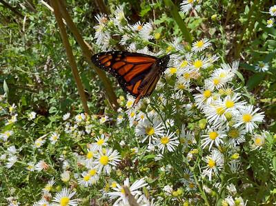 Beebe monarch2