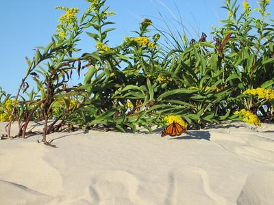 Monarchs on the beach (again) October 2010