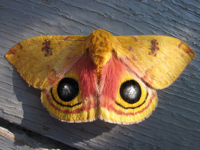 Io moth on our porch (June 2013)