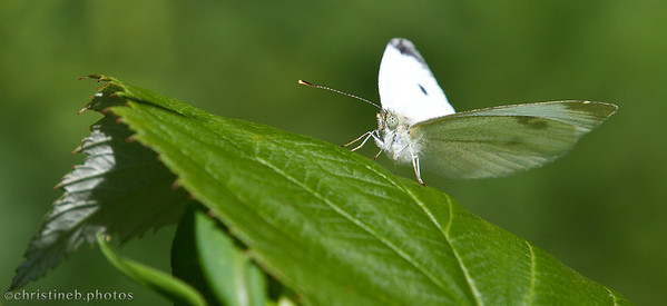 Backyard Sulfur butterfly by ccb5 (August 2013)